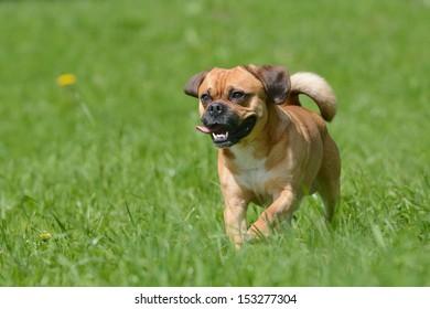 Puggle Dog Designer Dog Mops and Beagle