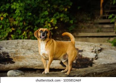 Puggle dog outdoor portrait