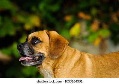 Puggle dog outdoor portrait in nature