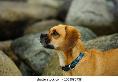Puggle dog outdoor portrait in rocks