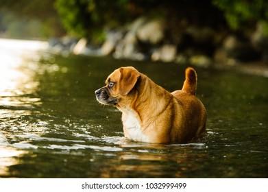 Puggle dog outdoor portrait standing in water