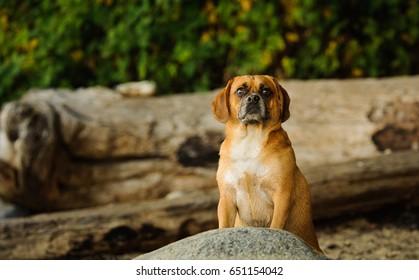 Puggle dog sitting on rugged shore