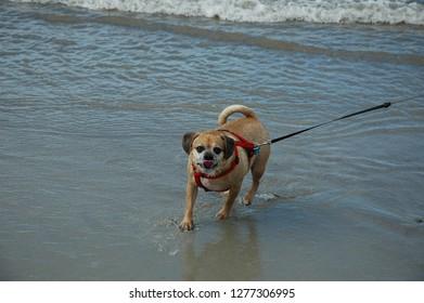Puggle enjoying the Oak Island Beach