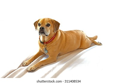 Puggle laying down on a white sheet