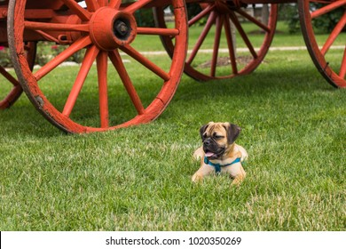 Puggle laying in the grass by