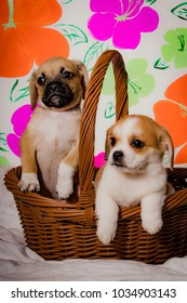 Puggle Puppy and a Beaglier Puppy Sitting Together in a Brown Wicker Basket in front of a Pink, Green, and Orange Spring Flower Background