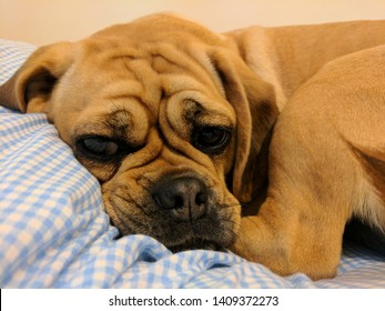 Puggle puppy with a grumpy face