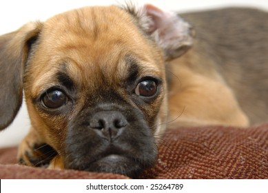 A puggle puppy puts her head on a pillow.