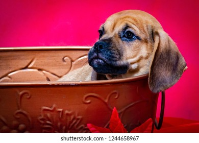 Puggle Puppy Relaxes in a Basket in front of a Bright Red Christmas Background