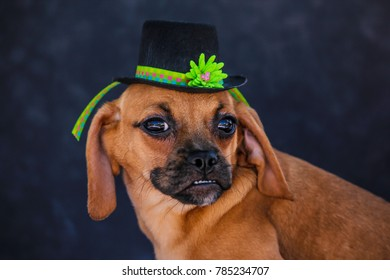 Puggle Puppy Wearing a Green Banded St. Patrick's Day Hat
