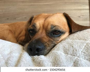 A Puggle resting on her pillow