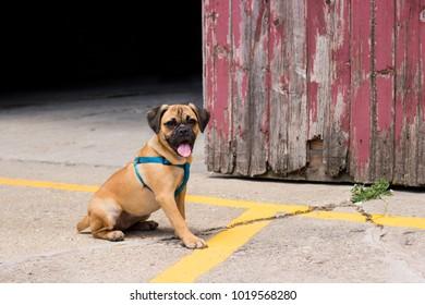 Puggle sitting by a barn of a farm.