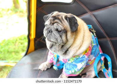 Puggy dogs images stock photos vectors shutterstock puggy dog is looking for something altavistaventures Images