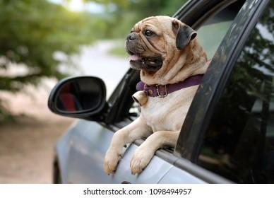 Puggy dog images stock photos vectors shutterstock puggy dog on the car altavistaventures Images