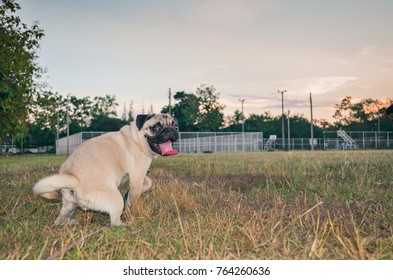 Puggy images stock photos vectors shutterstock puggy dogs happy on the evening meadow altavistaventures Images