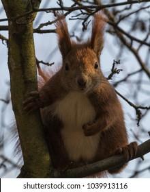 Pugilistic Red Squirrel