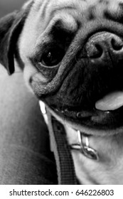Pugs are the best therapists.