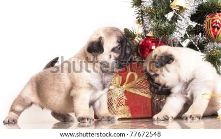 Pugs and Christmas gifts