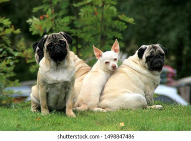 Pugs and little chihuahua sitting on the grass