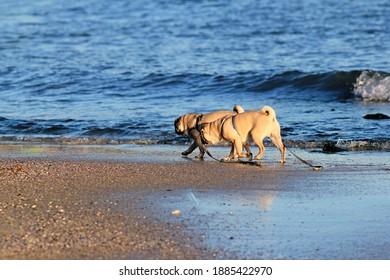 Pugs walk on the beach
