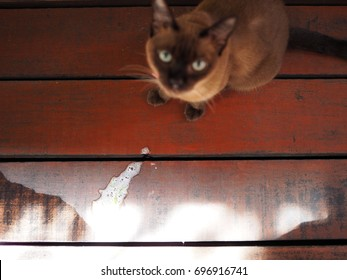 Puked out grass white vomit from Thai Siamese cat, facing up, top view, on red wooden floor with water stain, with bright sunlight