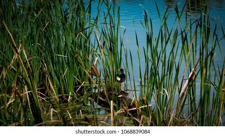 A pukeko bird or swamp hen hiding in river rushes in a wetland