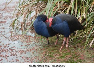 Pukeko Birds wading in the water