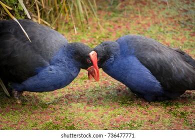 Pukeko Breed Pair, New Zealand Swamp Hens In Spring