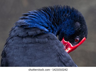 A pukeko with bright blue neck feathers and brilliant ref beak preening it's feathers. .