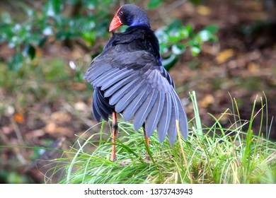 The Pukeko caught ruffling its feathers is one of New Zealand's beautiful native birds.