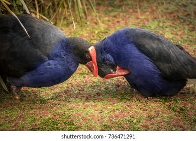 Pukeko, New Zealand Swamp Hens