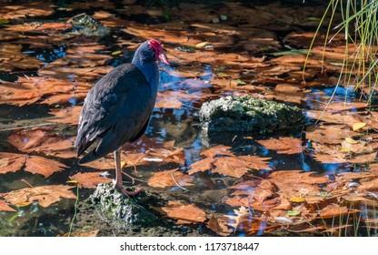 A Pukeko on a rock in a pond