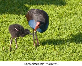 pukeko (Porphyrio melanotus), also known as the swamp hen or purple gallinule is feeding it's chick