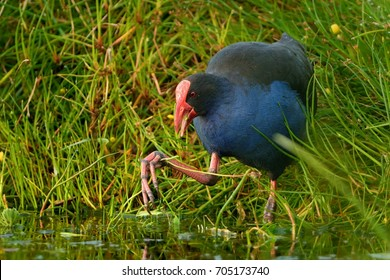 Pukeko (Porphyrio porphyrio melanotus) standing on a meadow near the lake and holding the haulm of grass in it's thorn.