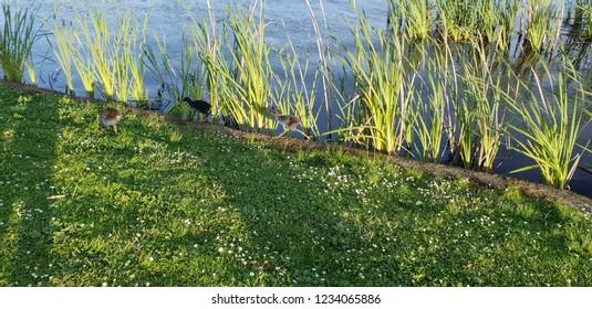 Pukeko running along a lake edge