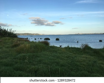 A Pukeko walk on the Harbour view beach reserve, background view of city, Auckland, New Zealand