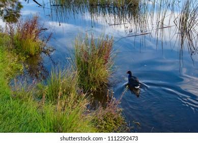 Pukeko the wildlife bird on lake, New Zealand