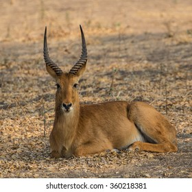 A puku antelope, lying down and facing the camera. South Luangwa National Park, Zambia, Africa.