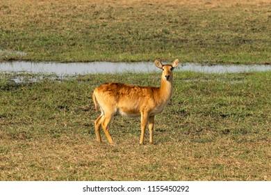 Puku Antelope in Zambia