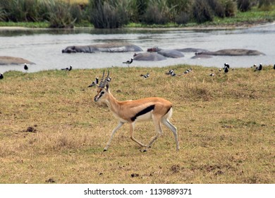 A puku antilope in the Ngorongoro crater in Tanzania with hippopotamus in the background.