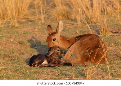 A Puku is born in South Luangwa, Zambia, in the late afternoon