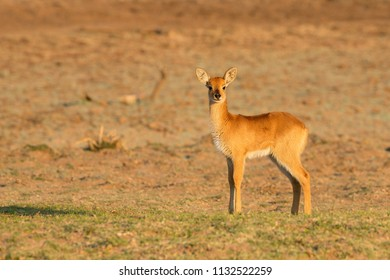Puku fawn in the South Luangwa valley, Zambia