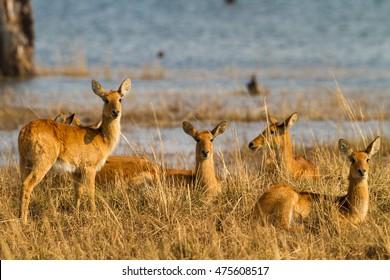 Puku (Kobus vardonii) herd by water's edge