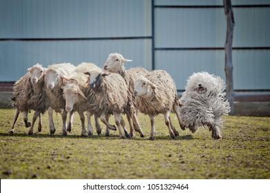 puli dog outdoors Guards Sheep