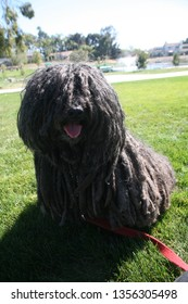 Puli Dog.  The Puli is a small-medium breed of Hungarian herding and livestock guarding dog known for its long, corded coat. Happy Puli Dog smiles in a park.