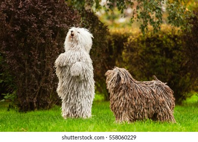 Puli (Hungarian Puli, Hungarian Water Dog) walking in the park