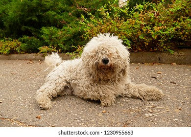 The Puli is a small to medium Hungarian herding dog that looks like an old-timey floor mop.