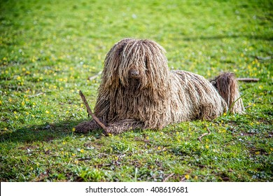Puli, small-medium breed of Hungarian herding and livestock guarding dogbreed on a grassland playing with a twig