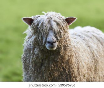 Pull the wool over your eyes, blind shaggy sheep