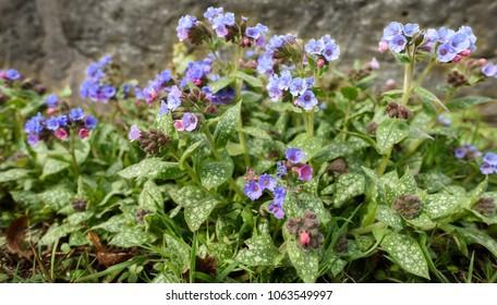 Pulmonaria blue ensign in full bloom in spring.